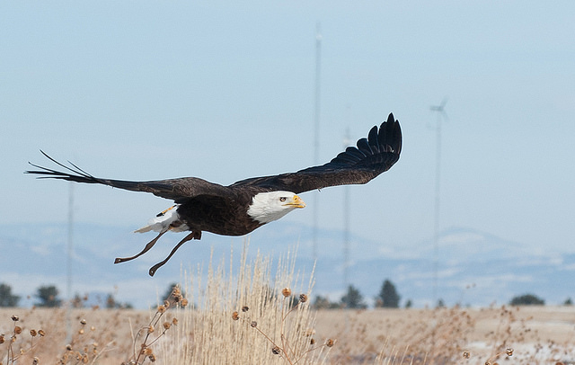Spirit, Auburn's bald eagle, is in Colorado this week to participate in research training with the U.S. Department of Energy's National Renewable Energy Laboratory.